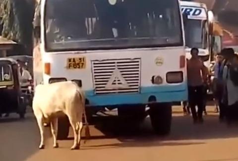 india2cow