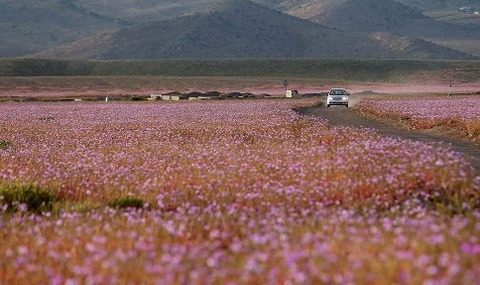 atacama-flowers-bloom-worlds-driest-desert-13