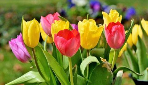 tulip-3287183_960_720