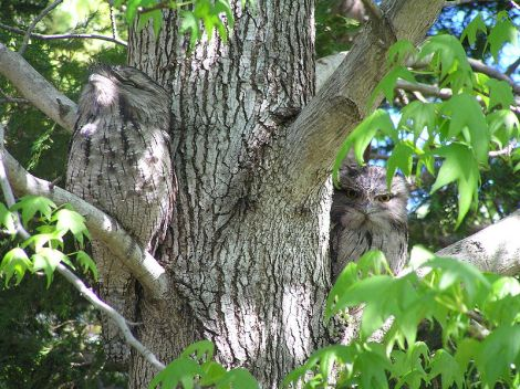 tawny_frogmouth_camouflage