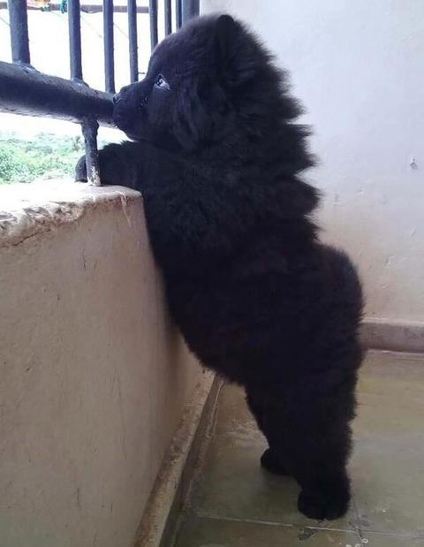 chubby-puppies-bear-cub-look-alikes-24__605