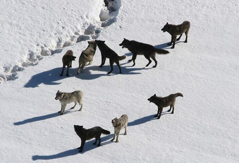 1024px-Yellowstone_Wolves