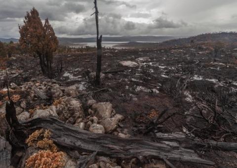 Pencil pine devastation_900px