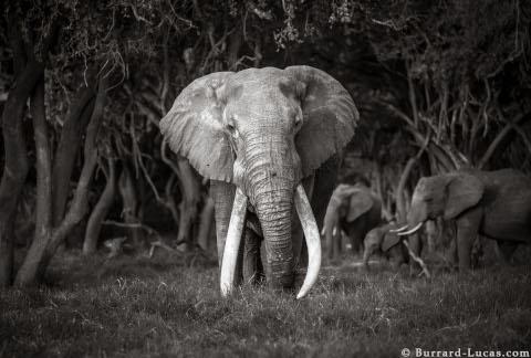 will-burrard-lucas-elephant-queen-12