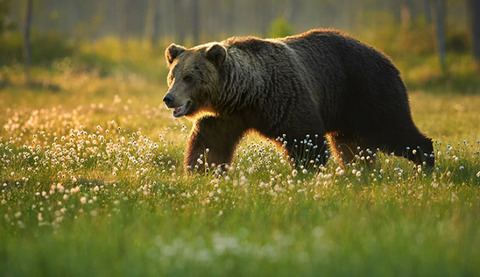 Bear-Grizzly-f