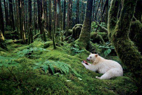 kermode-bear-615
