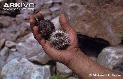 Himalayan-musk-deer-pods