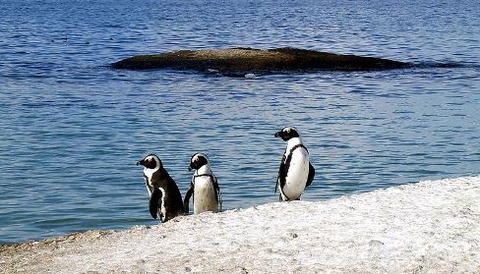 800px-African_penguins