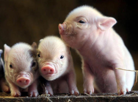 baby-piglets