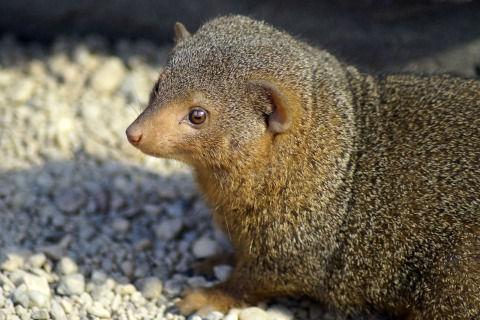 mongoose-3976714_1280