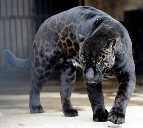 black-leopard-panthe
