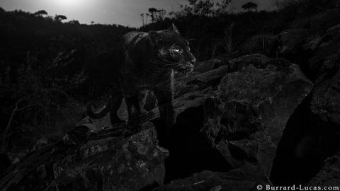 _105626714_willbl-black-leopard-4