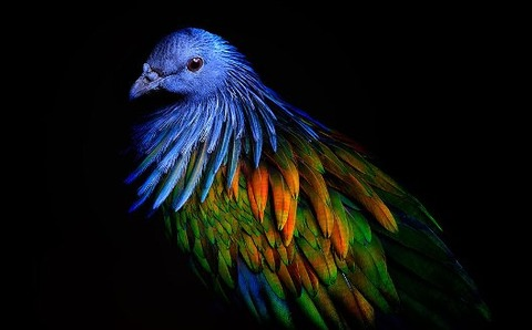 nicobar-pigeon-colorful-dodo-relative-35