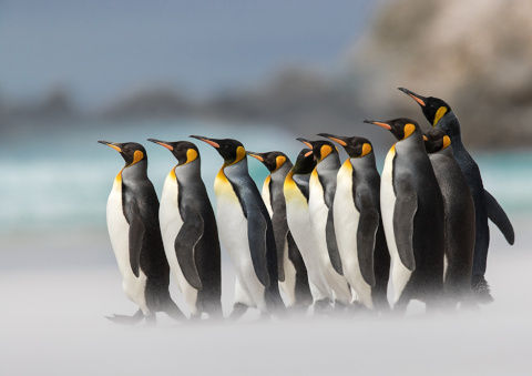 Penguins_King_