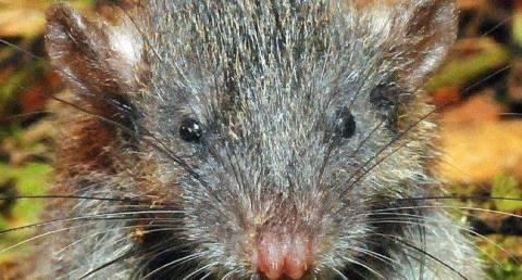 root_rat_large