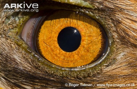 Booted-eagle-eye-detail