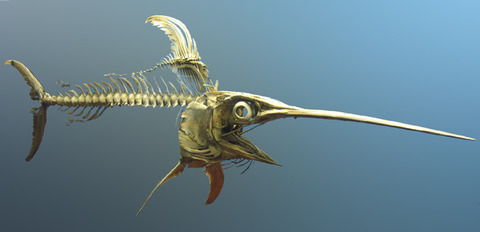 Swordfish_skeleton