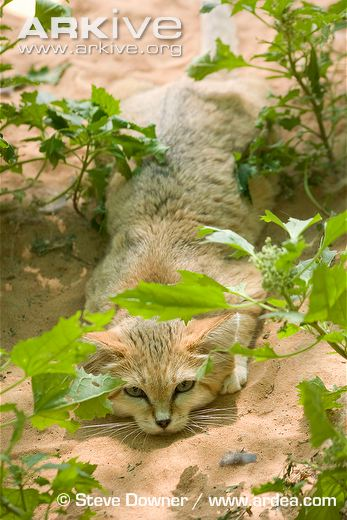 Sand-cat-ssp-harrisoni-crouched