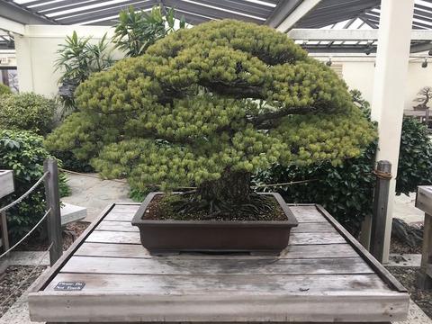 bonsai-hiroshima-nationa-arboretum