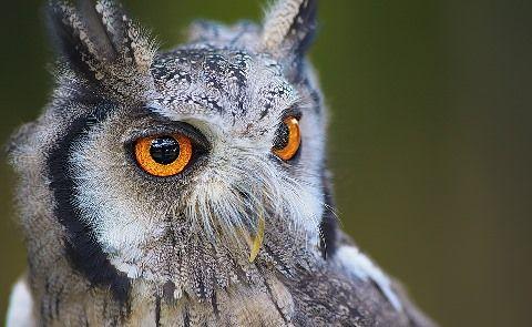 owl-1705112_960_720
