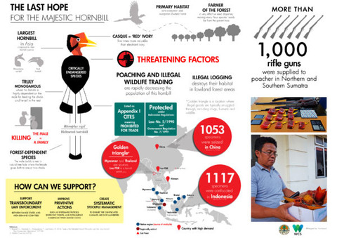 Helmeted-Hornbill-infographic_with-logo-600x424