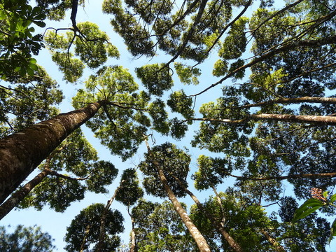 crown-shyness-of-trees-1