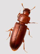 beetle1b