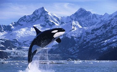 large-Orca-Whale-photo