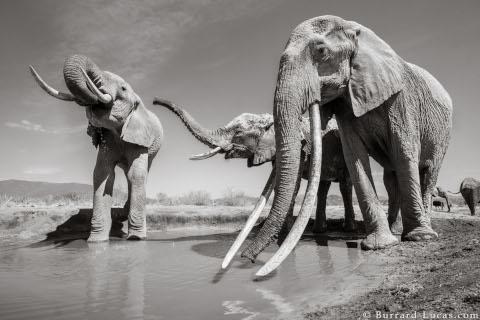 will-burrard-lucas-elephant-queen-7
