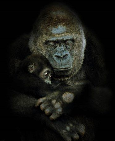 mother-and-child-gorilla