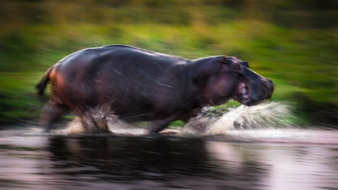 Hippo On The Run