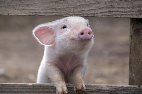 happy-pig-smiling