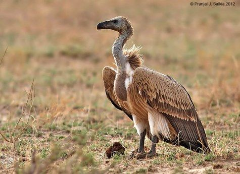 longbilled_vulture_copy1