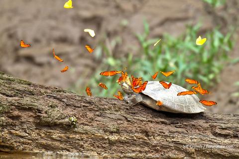 butterflies-drink-tu
