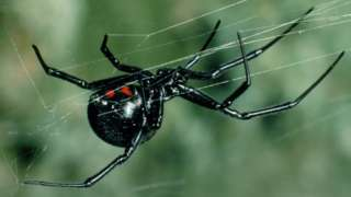 _91883932_z4300333-black_widow_spider-spl
