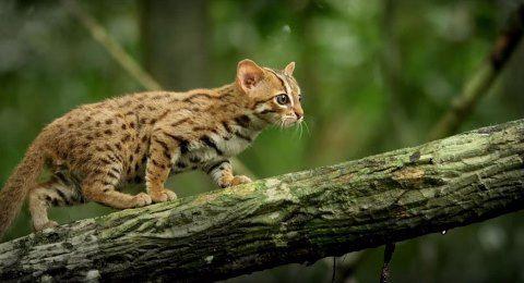 worlds-smallest-cat-5
