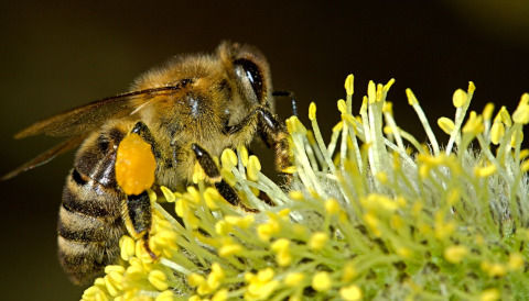 bees-18192_1280