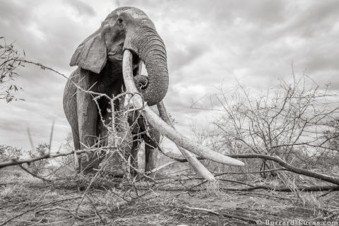 will-burrard-lucas-elephant-queen-3