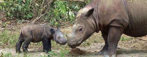 Sumatran_rhino_4