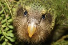 kakapo-chick-223