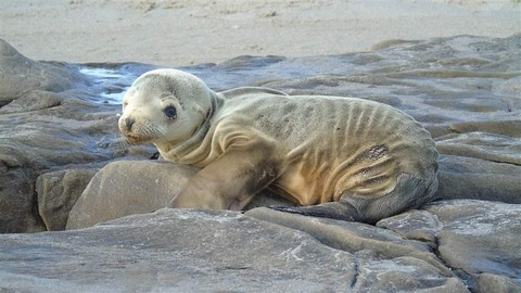 sea_lion_pup_2015_noaa_jim_milbury_16x9