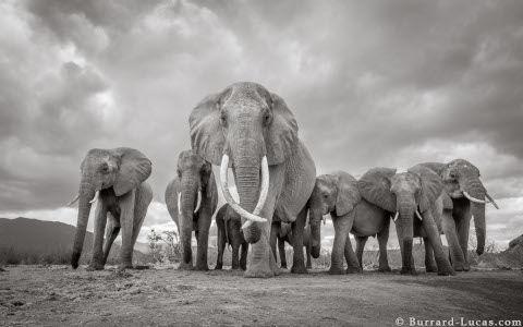 will-burrard-lucas-elephant-queen-11