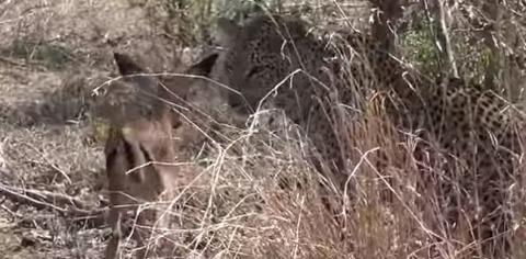 leopard26