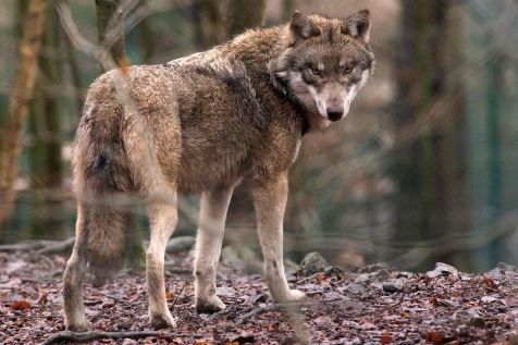 germany-animal-wolf-100426