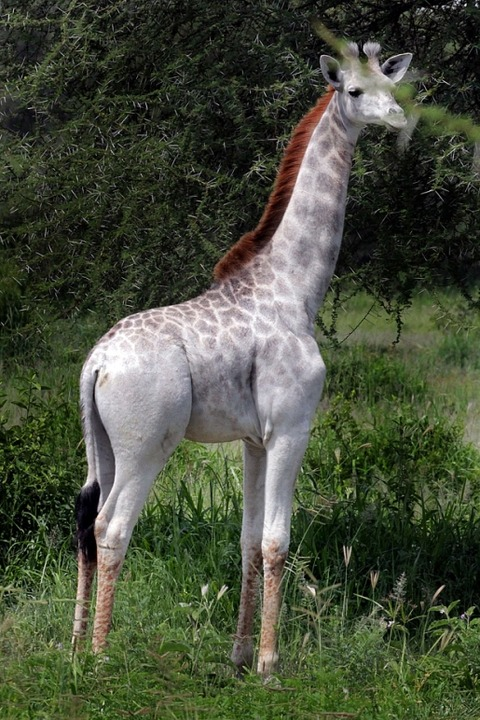 giraffe-1_3558773b