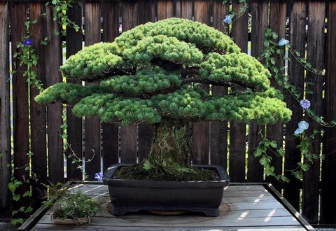 bonsai-hiroshima-national-arboretum