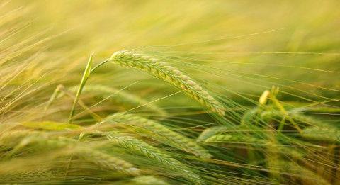 barley-2117454_1280
