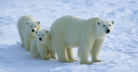 polar-bear-01