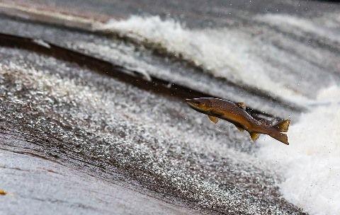 salmon-1107404_960_720