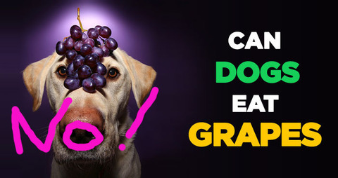 Grape-and-Raisin-Poisoning-in-Dogs